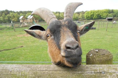 Matlock park farm goat